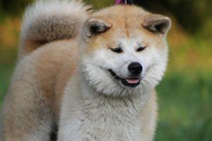 秋田犬って柴犬に似てる