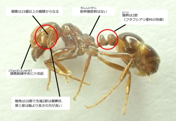 ヒアリの毒性