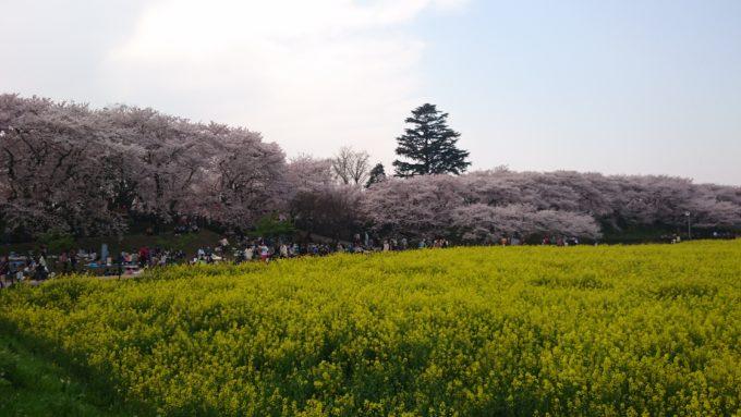 幸手市権現堂堤の桜の見頃