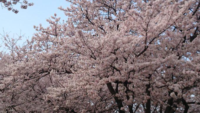 幸手市権現堂堤の桜の花見のコツ