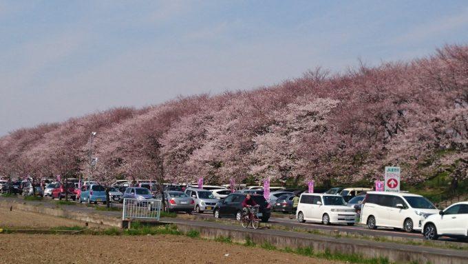 幸手市権現堂堤の桜の花見の駐車場の状況