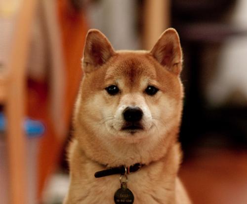 柴犬のアトピー性皮膚炎を改善するシャンプーは効果あり?