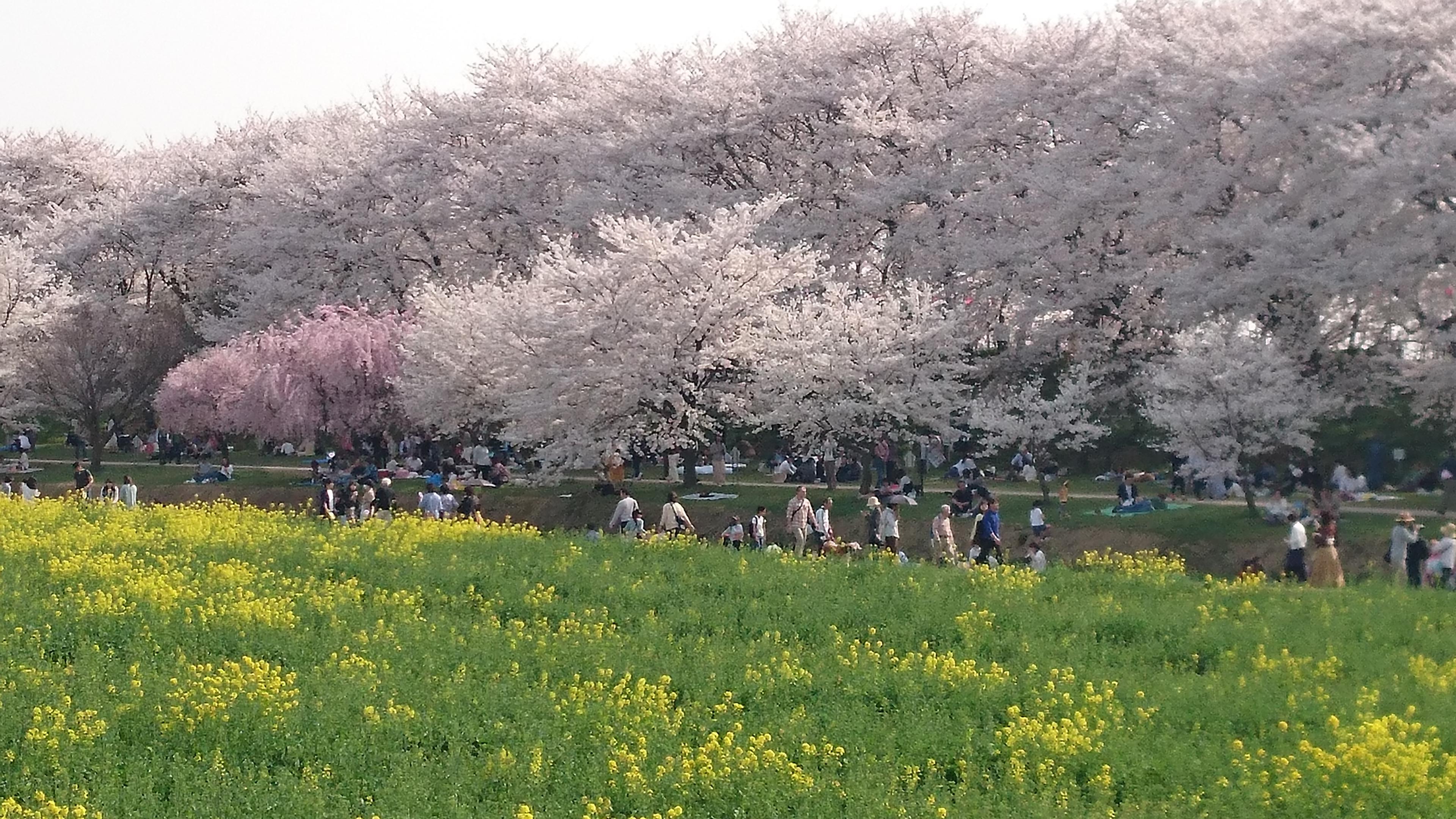 幸手権現堂堤2019年桜の見頃はいつ?地元民が教える駐車場状況と花見のコツ!